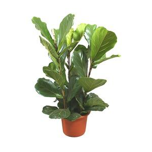 Medium plant ficus lyrata