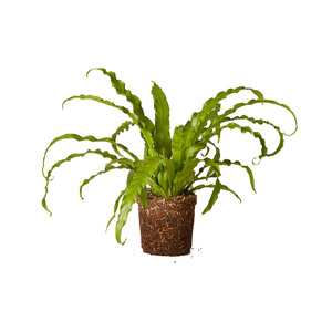 Medium the sill birds nest fern