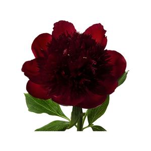 Medium flowerbx crimson peony