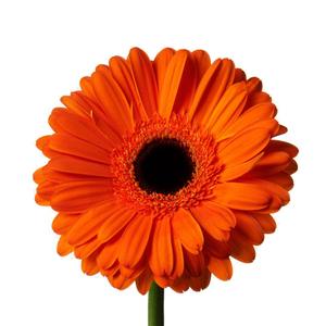 Medium daisy