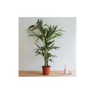 Medium floom london plant kentia 1
