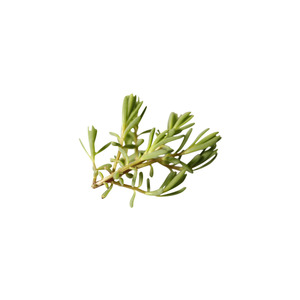 Medium micro sea rosemary finefoodspecialist