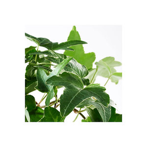Medium hedera helixpotted plant ivy