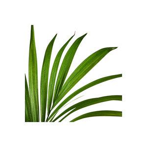 Medium howea forsterianapotted plant  kentia palm