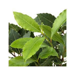 Medium laurus nobilispotted plant  baylaurel