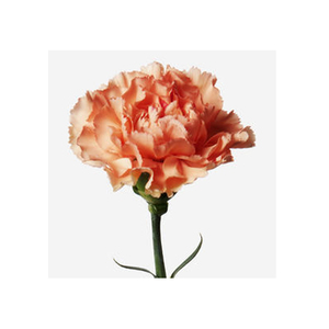 Medium flowerbx carnation