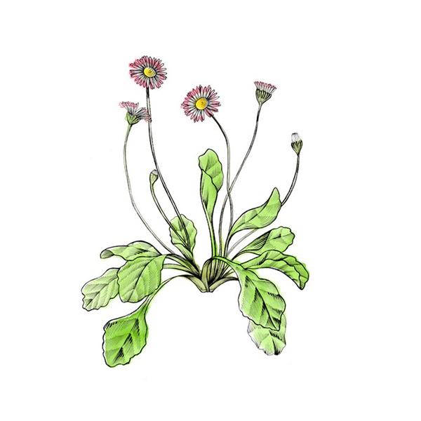 Large buly 1803 daisy macerate