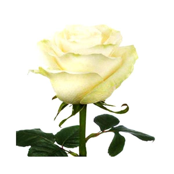 Large large flower bx rose