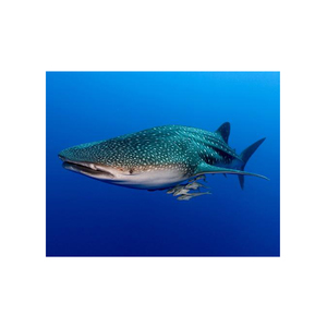 Medium the shark trust whale shark adoption
