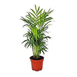 Medium amazon parlour palm   chamaedorea elegans   indoor   house plant   9cm pot   20 40cm