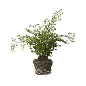 Medium trouva faux small leaf fern