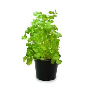 Medium coriander